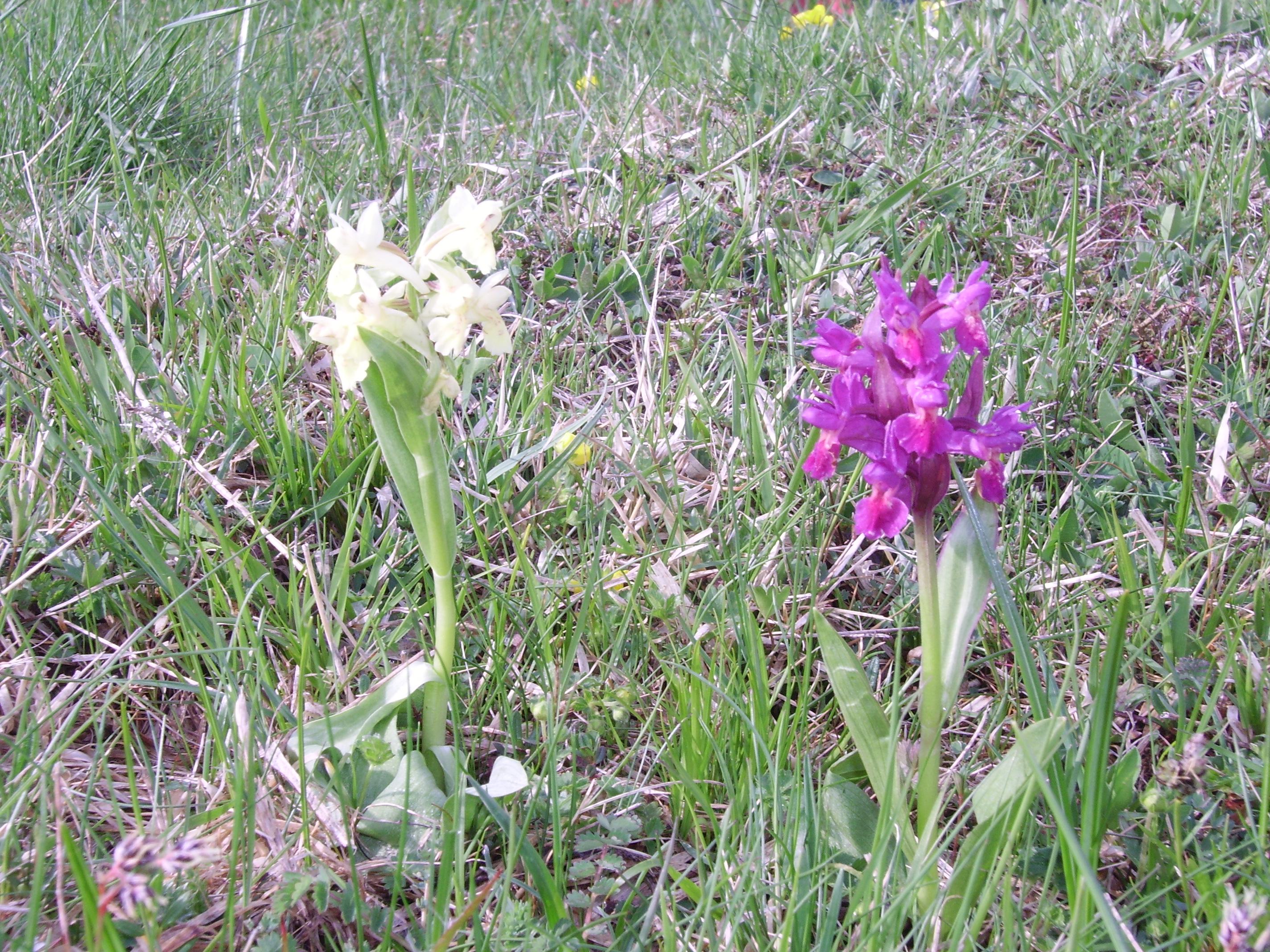 deux genres d'orchidées