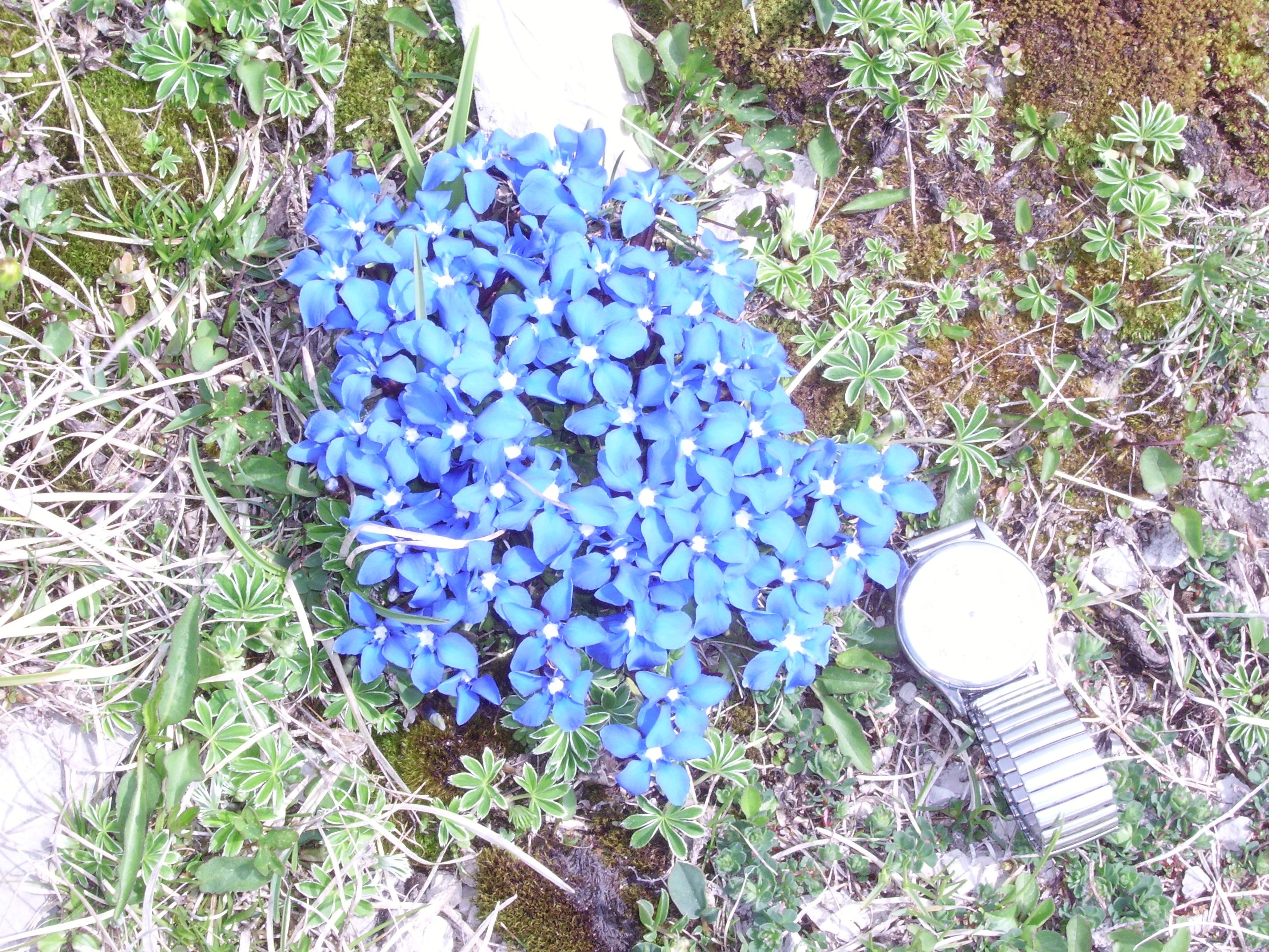 gentiane de printemps, un beau bleu