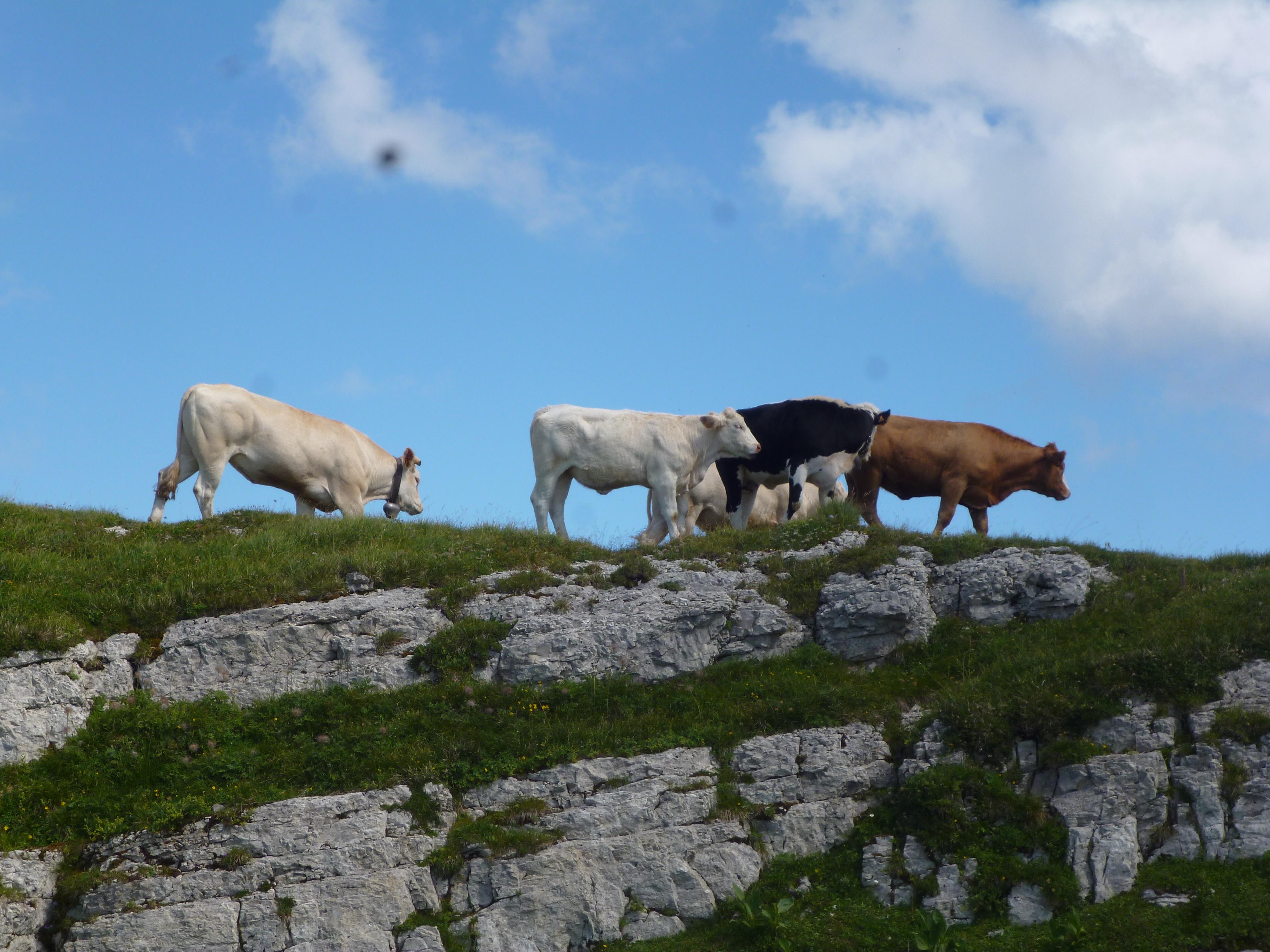 troupeau au sommet