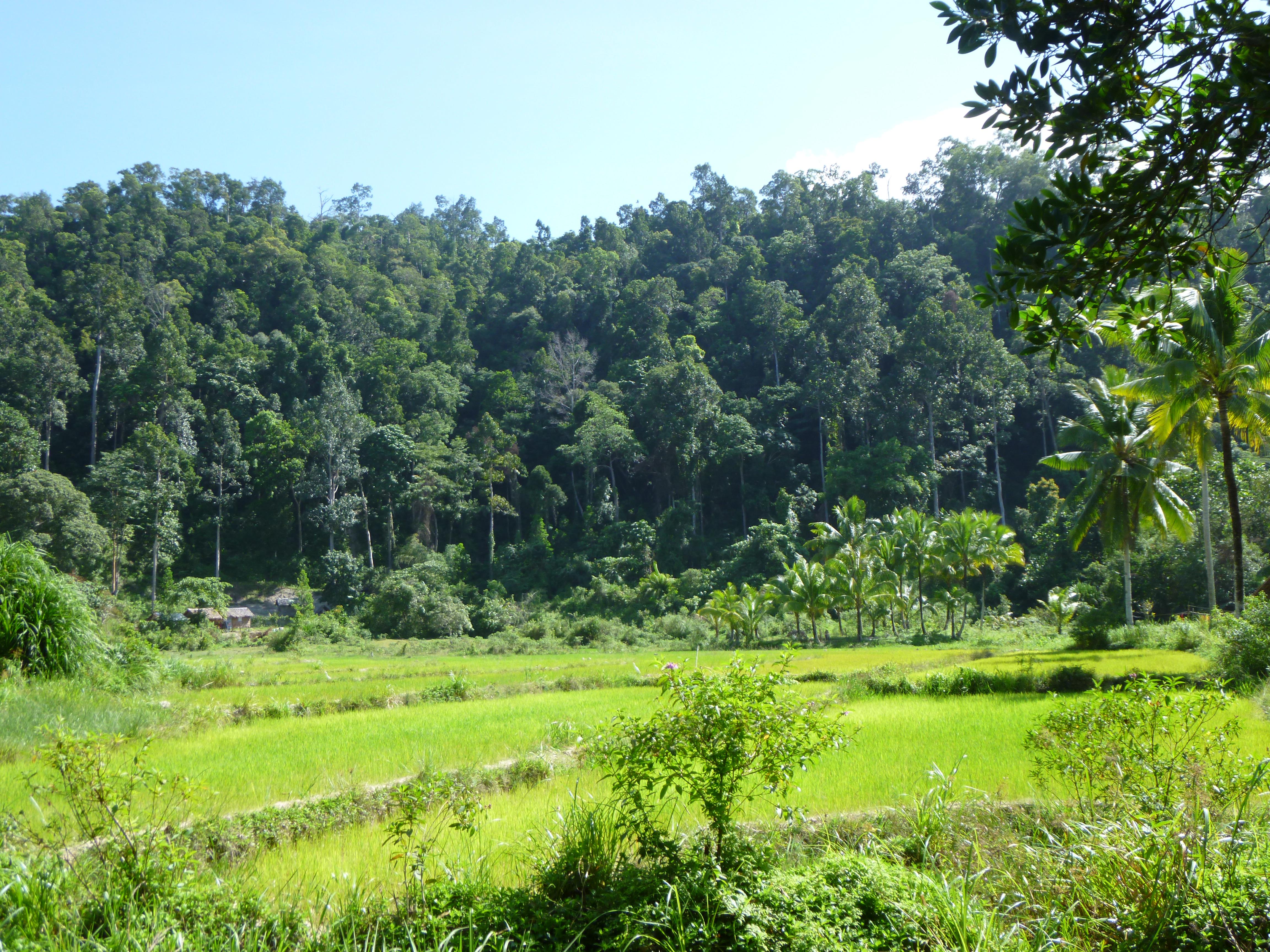 riziére sur fond de jungle au cours d'une promenade