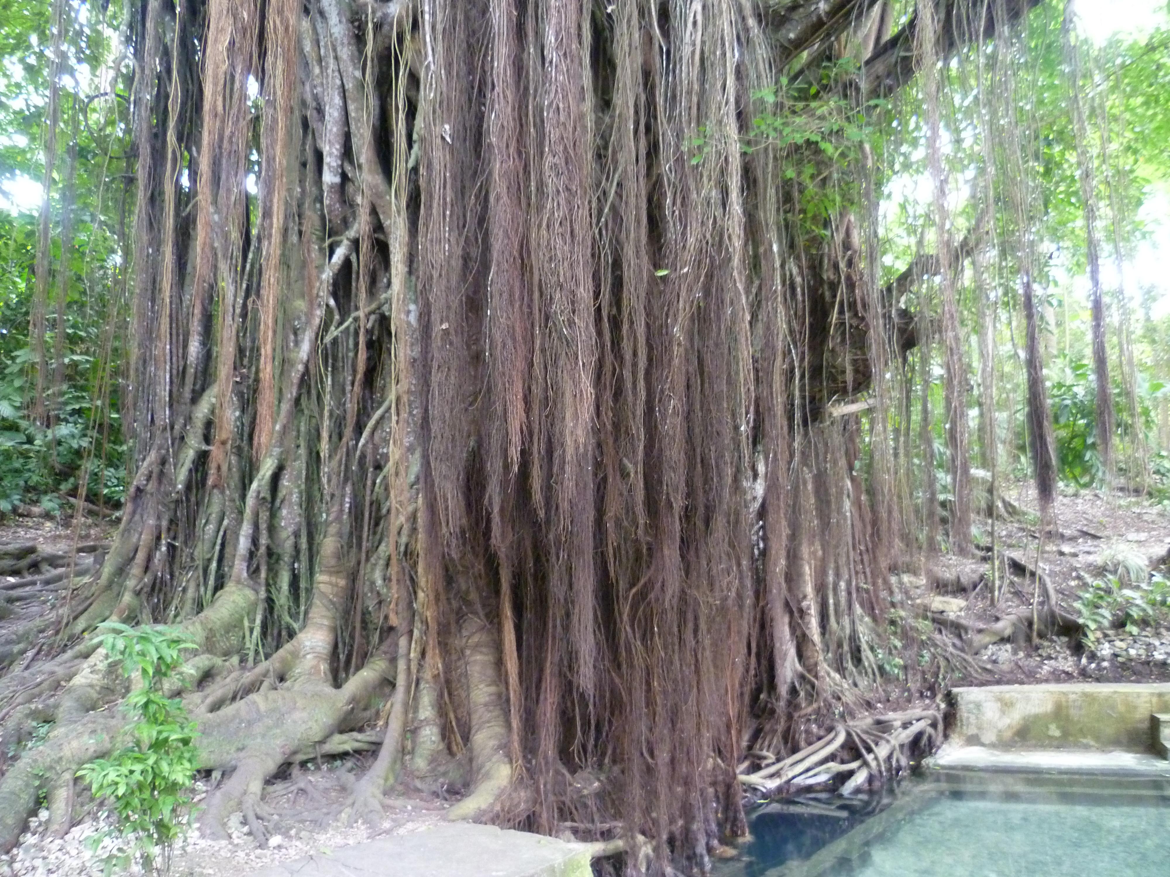 le Balete tree, arbre vénérable et sacré, un banyan centenaire ?