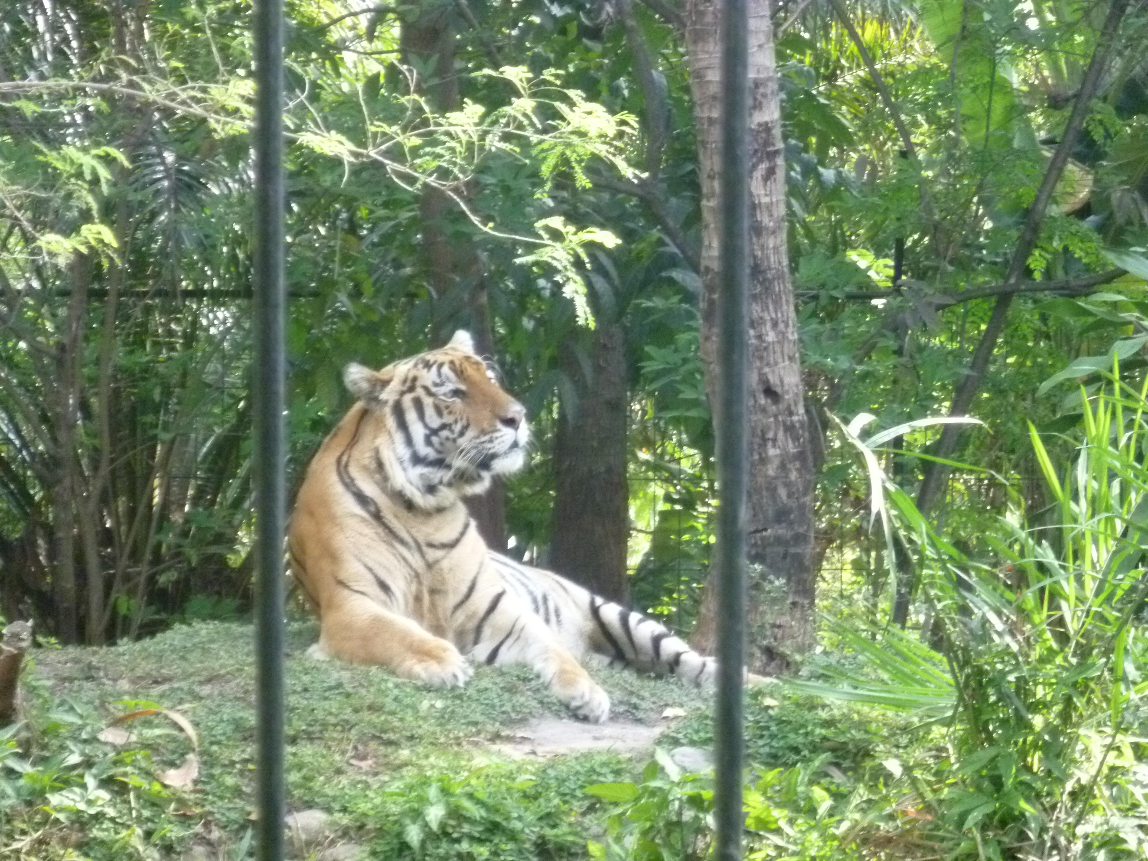 le tigre de Martin Zoller