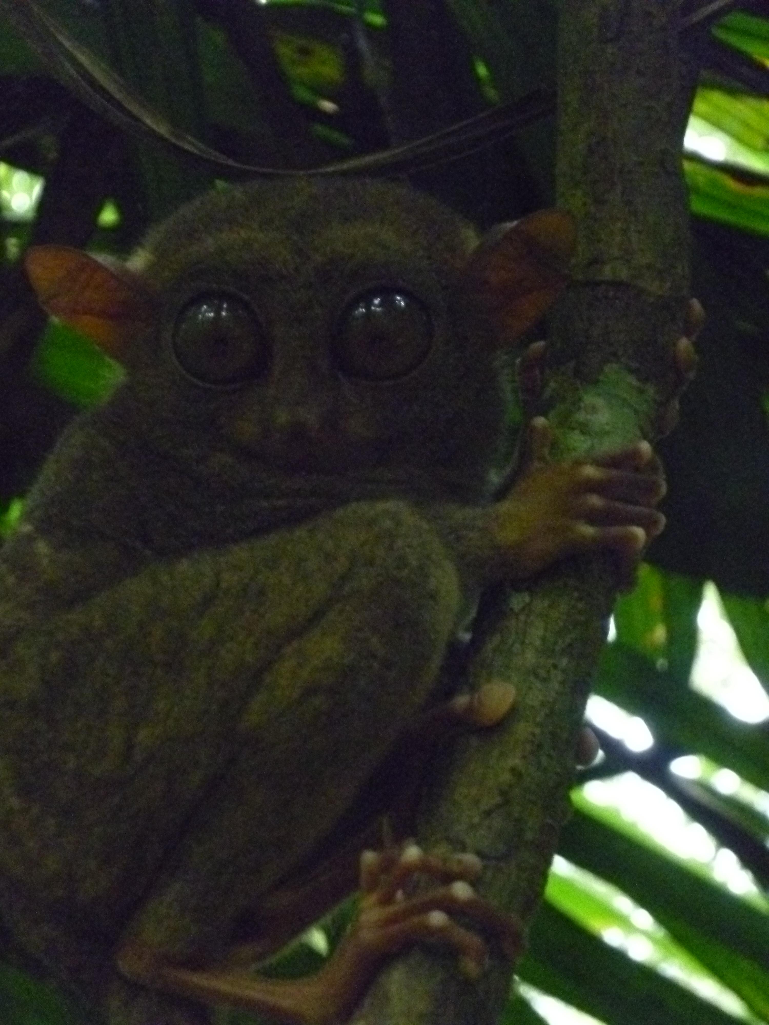 tarsier au parc de Corella