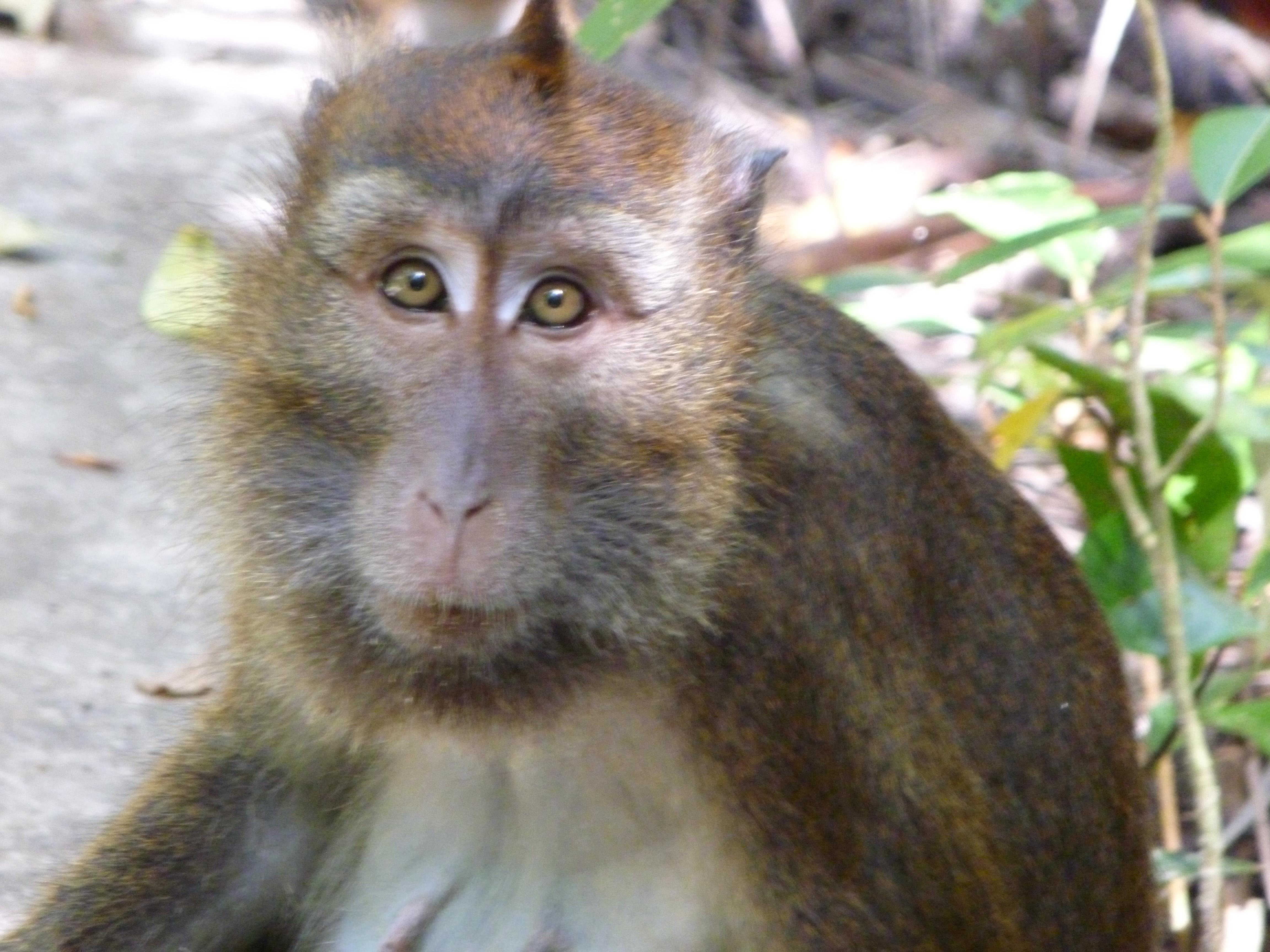 une bande de macaque nous suit à distance, ici, le plus téméraire.